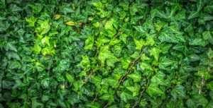 Ivy which forms an inmportant part of the green barrier to reduce air pollution