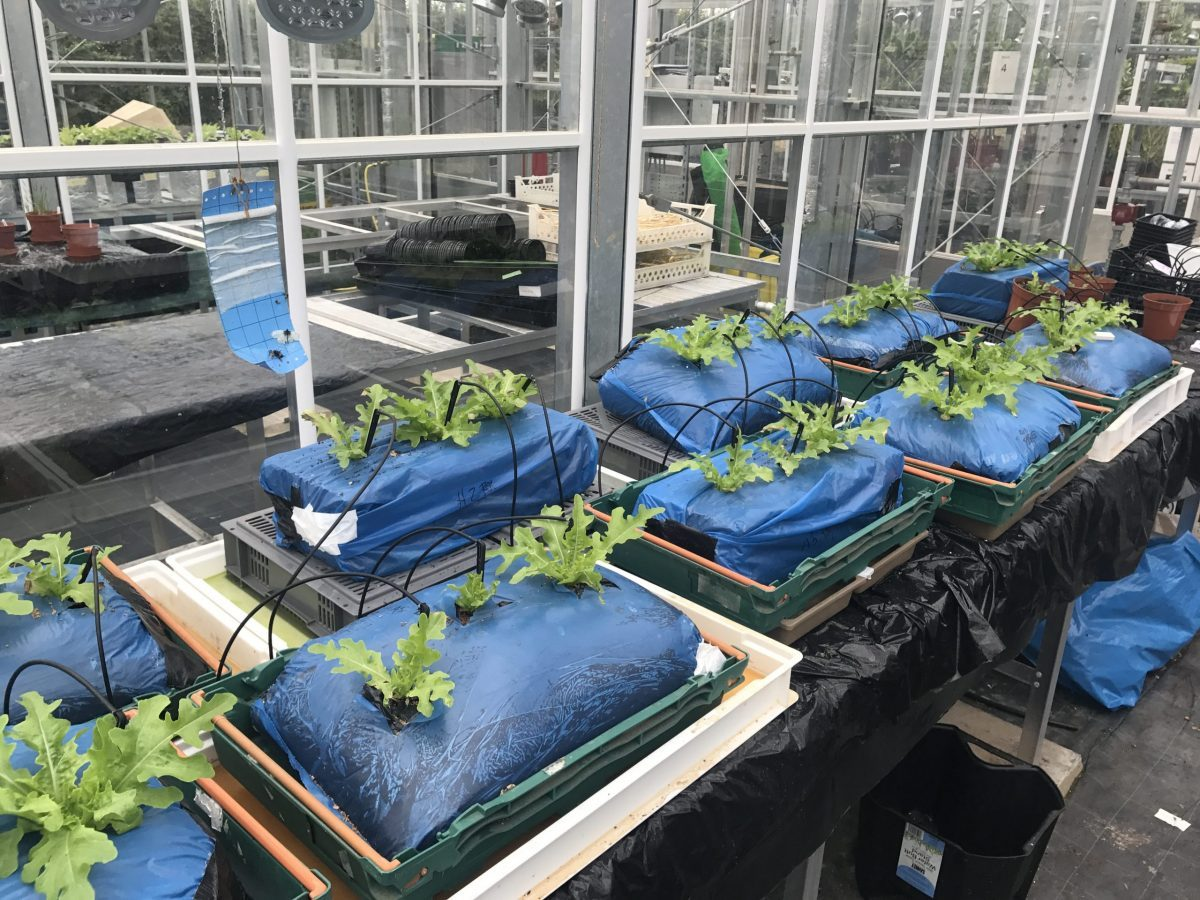 Table of lettuce growing in media