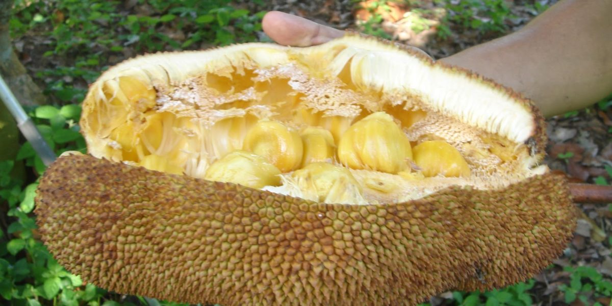 Freshly opened cempedak and its yellow fleshy fruits