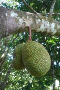 Unripe bangkong fruit from an Orang Asli village in Kelantan, Malaysia – it looks just like cempedak. Photo credit: Maria Wang