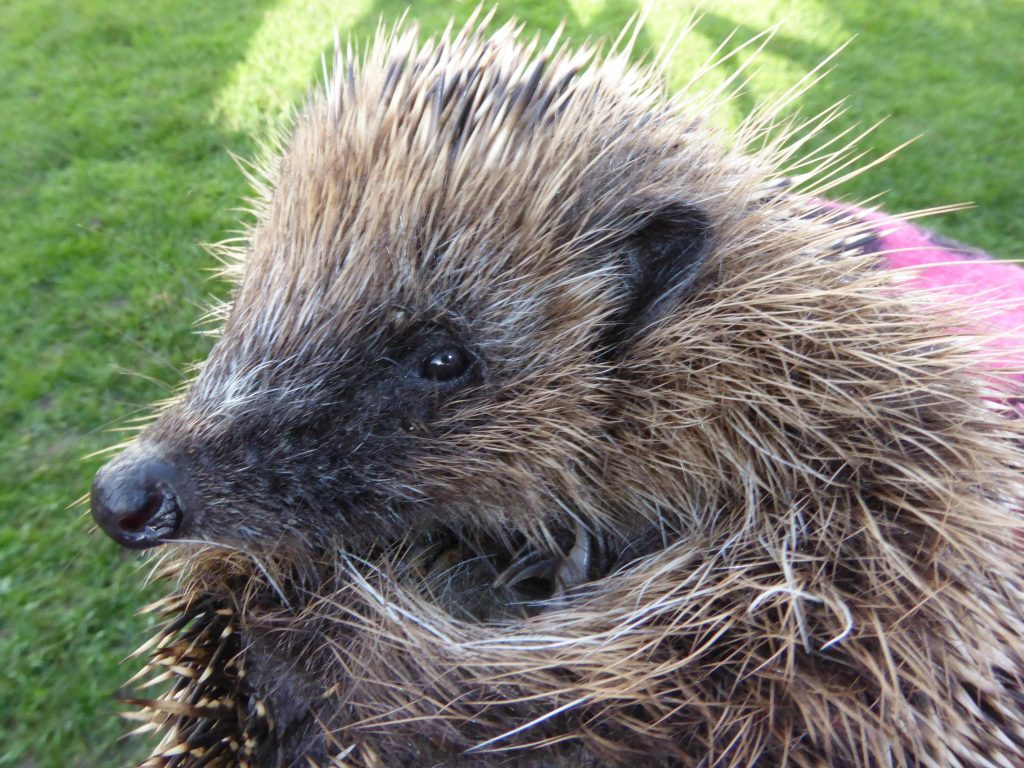 Henry the hedgehog - ecosophy and extinction accounting may stop his kind going extinct