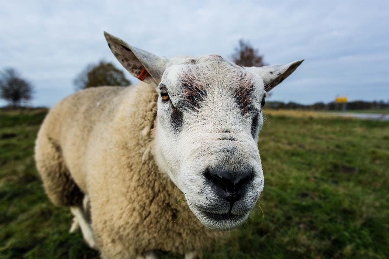 A sheep in the UK. The UK should farm trees, not sheep